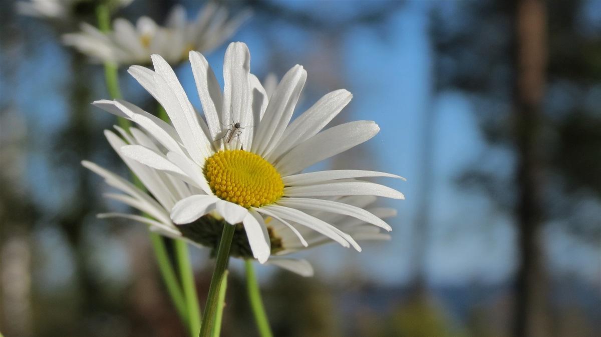 Päivänkakkaroita auringossa, hyttynen yhdessä kukassa